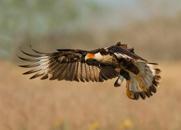 Crested Caracara flying