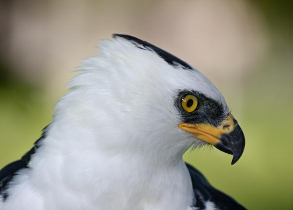 Black-and-white Hawk-eagle   The Peregrine Fund